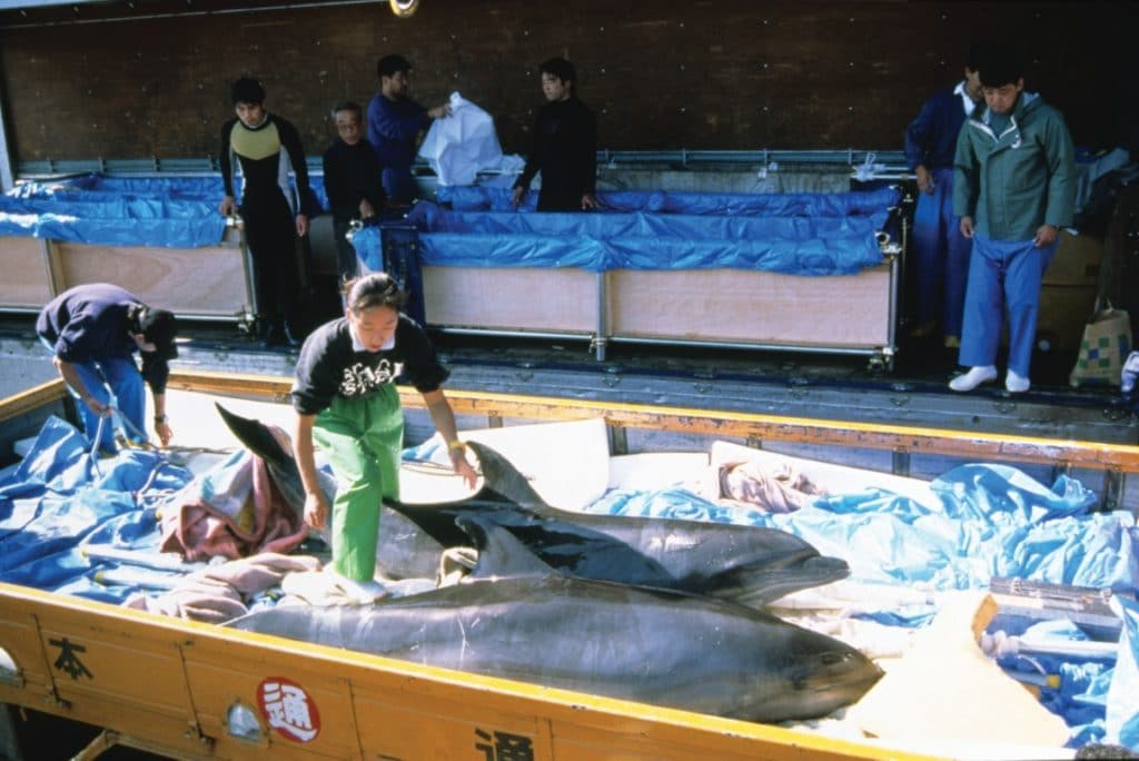Live dolphins taken from the drive hunt and destined for captivity