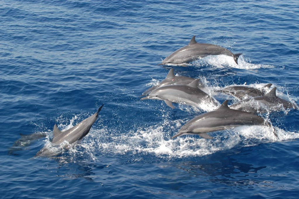 Spinner dolphins © Lindsay Porter