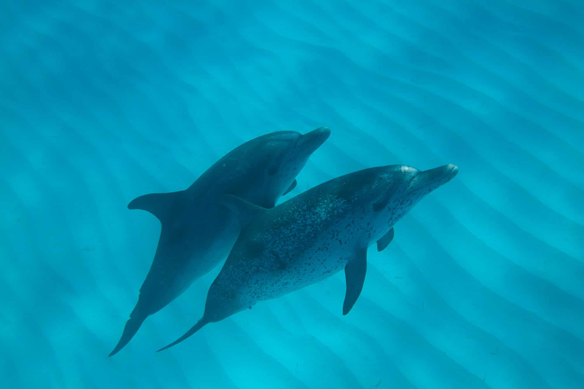 Pair of spotted dolphins