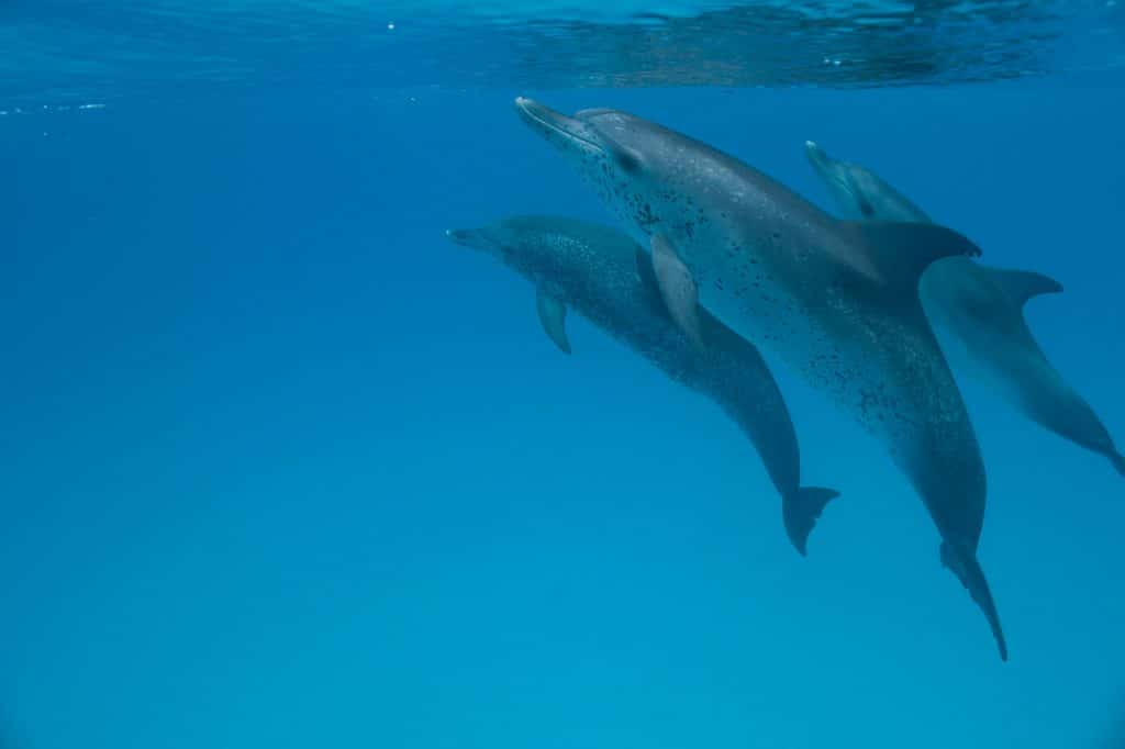 Three Atlantic spotted dolphins