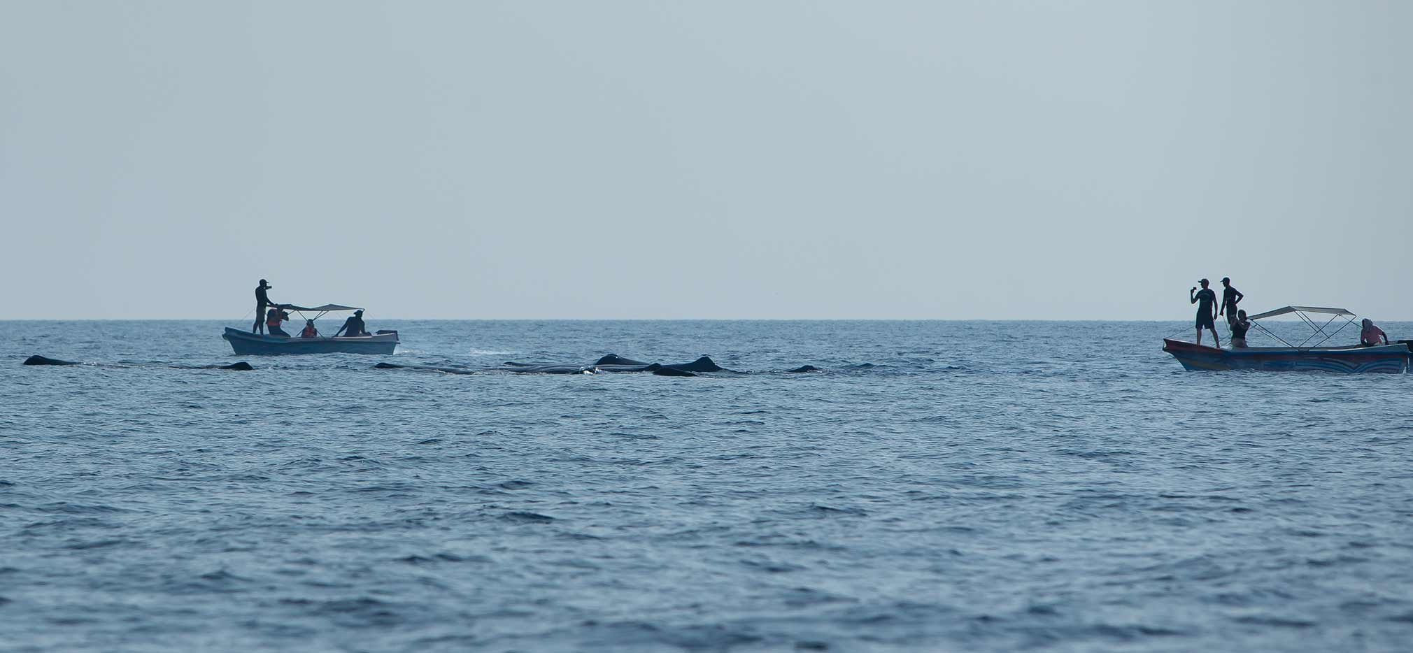 The distinctive fins of sperm whales break the surface