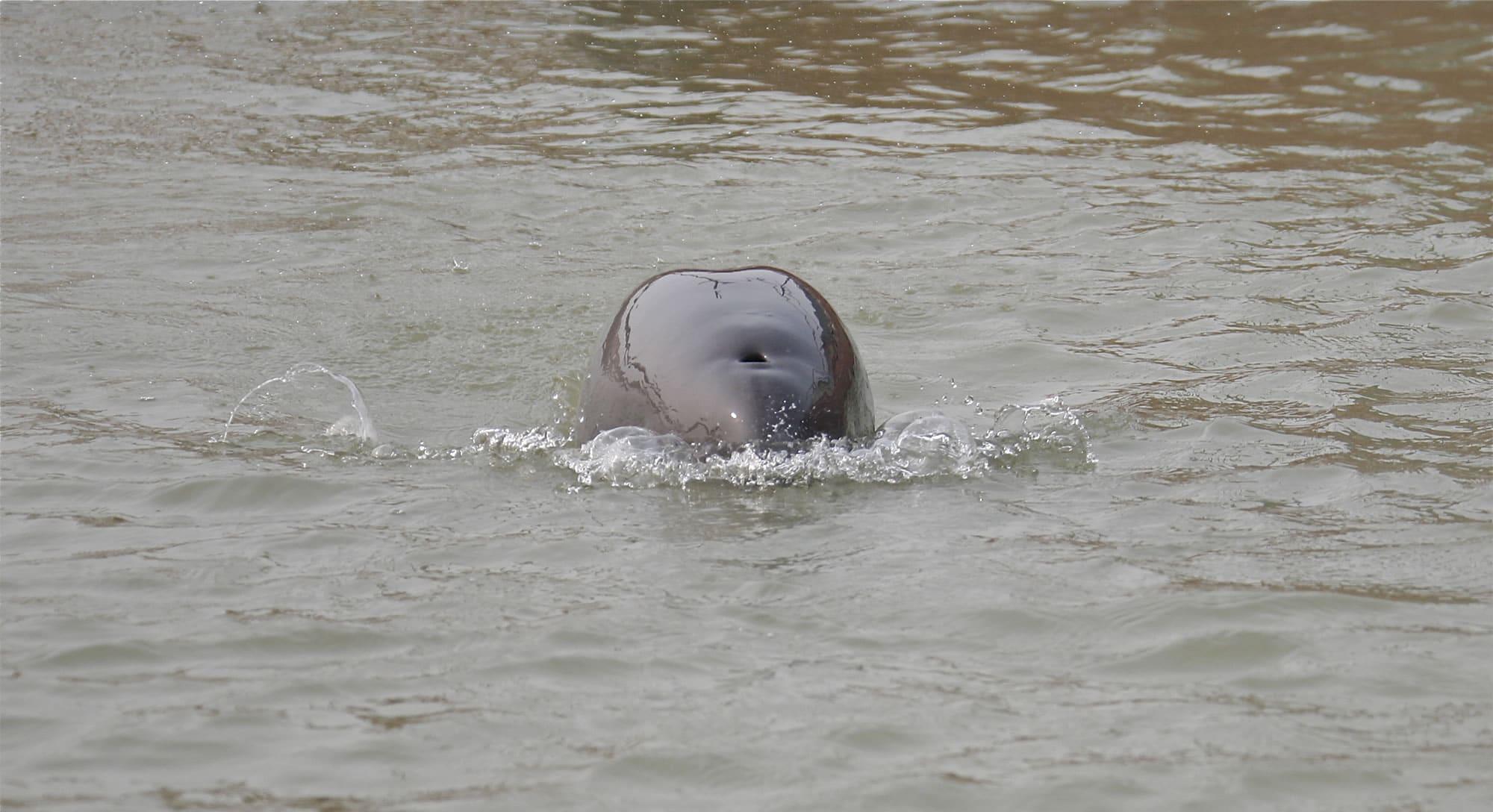 narrow-ridged-finless-porpoise-sg-grant-abel2