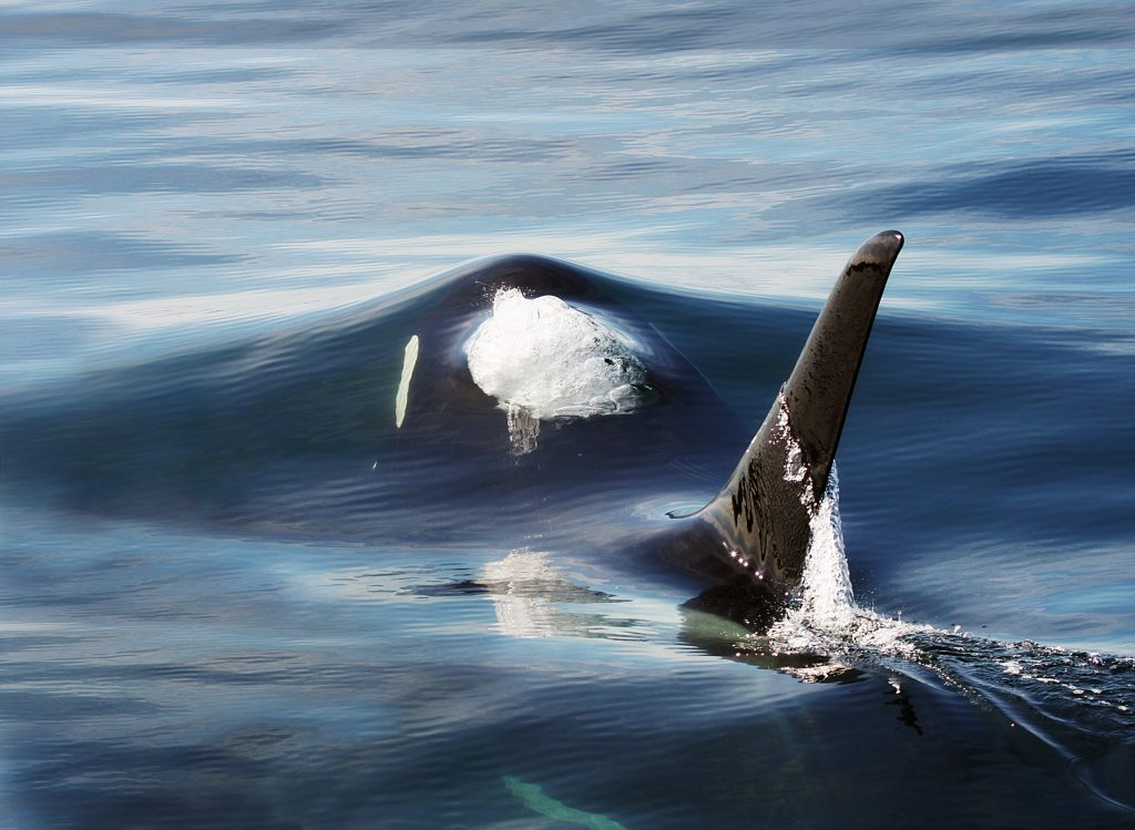 Are orcas behind a drop in great white shark numbers?