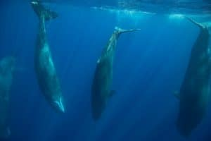 Paradise lost? Extraordinary encounters with sperm whales