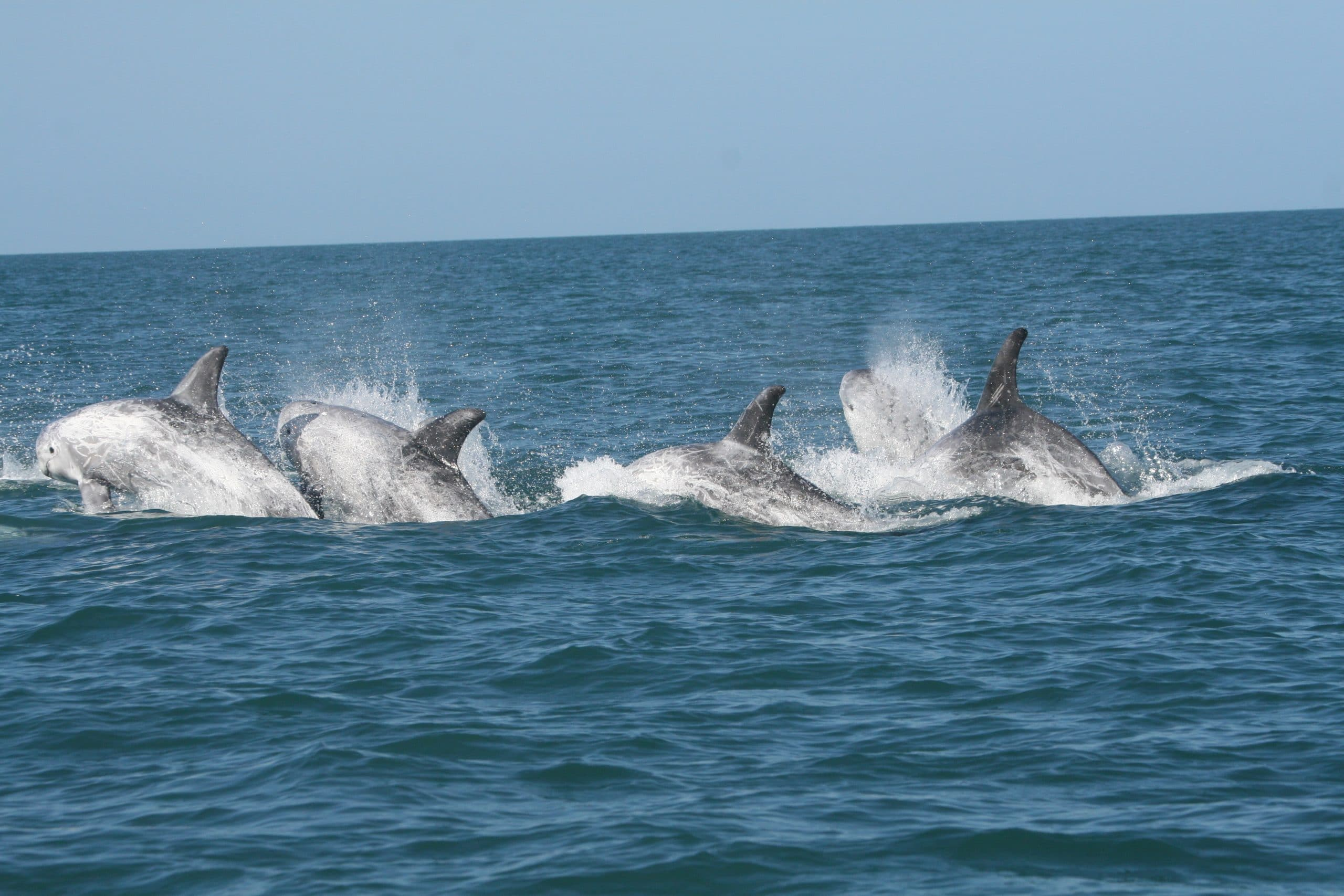Risso's dolphins in the waters around Bardsey