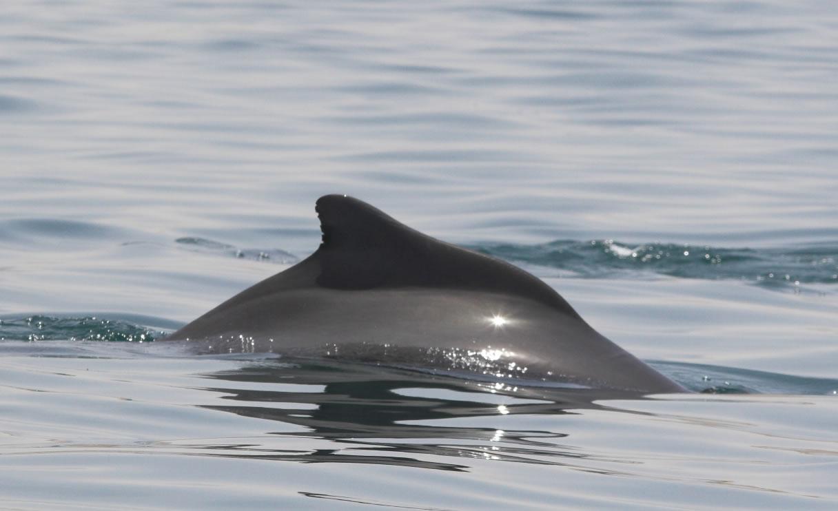 Atlantic humpback dolphin