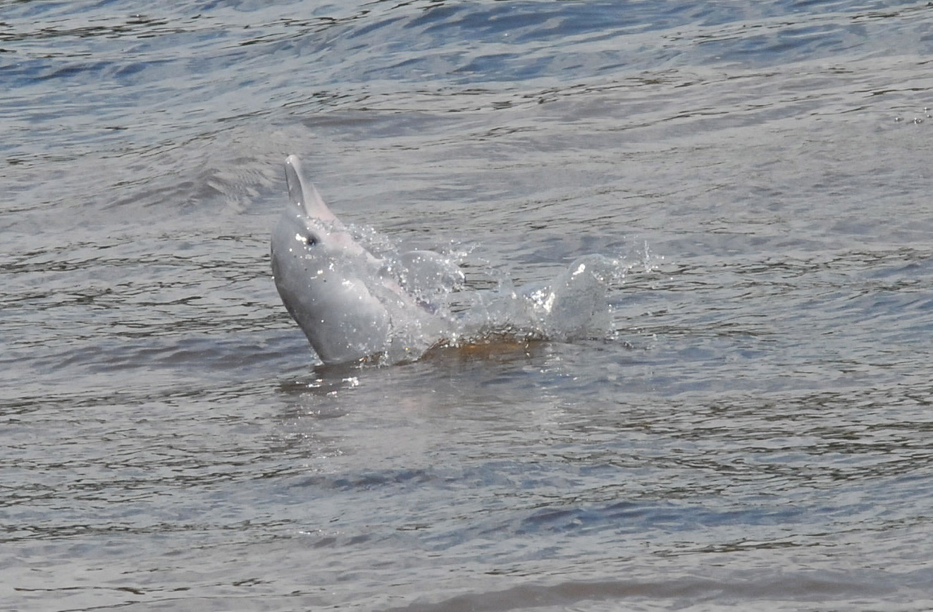 Latest endangered species list confirms all freshwater dolphins face battle to avoid extinction