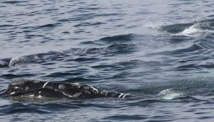 Rare right whale song recorded for first time