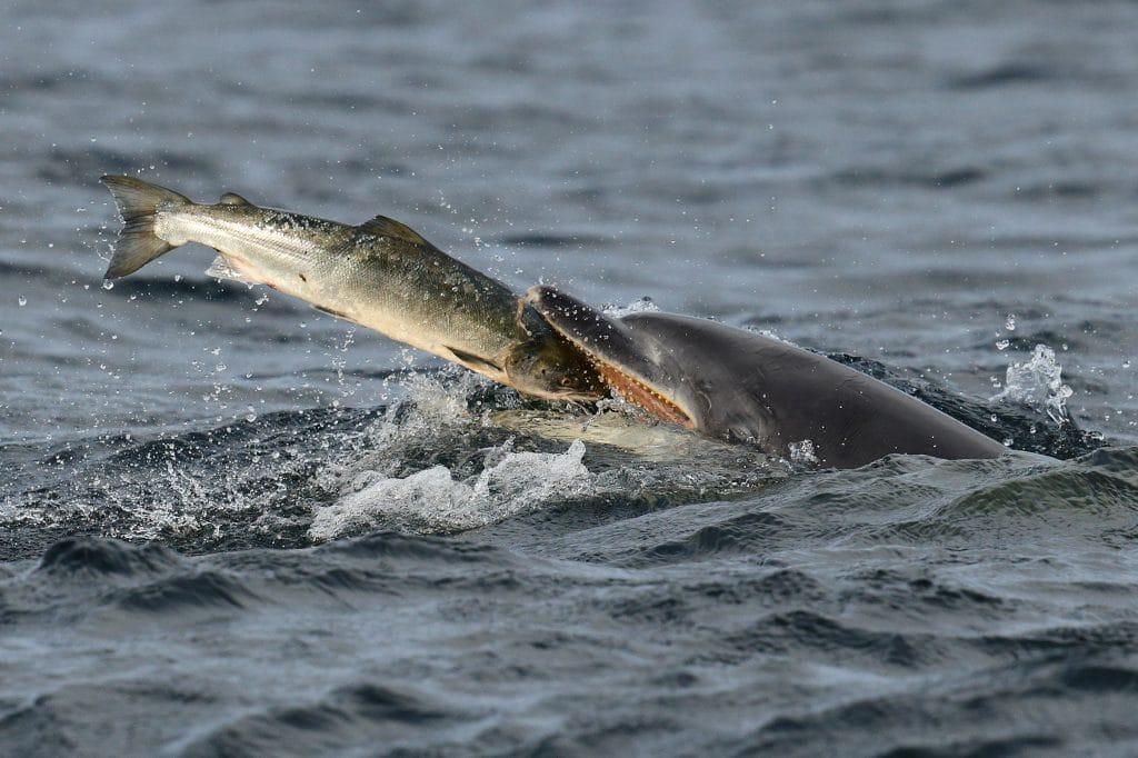 Kesslet, a bottlenose dolphin, eating a salmon