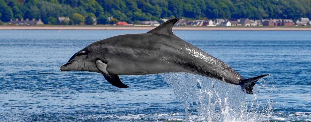 """A Bottlenose dolphin named """"Charlie"""" breaching at Chanonry Point, Scotland"""