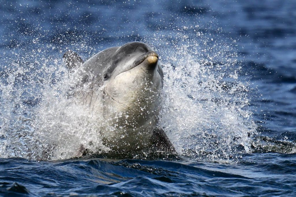 Bottlenose dolphin Charlie swimming at speed
