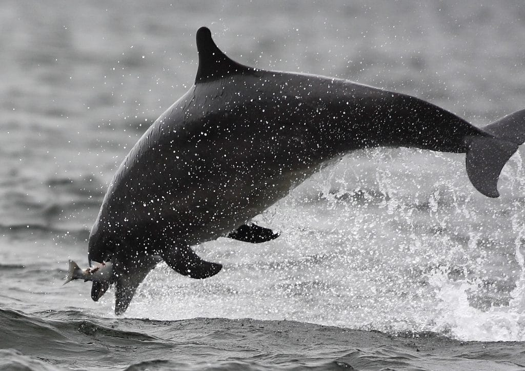 Bottlenose dolphin Rainbow catching a salmon