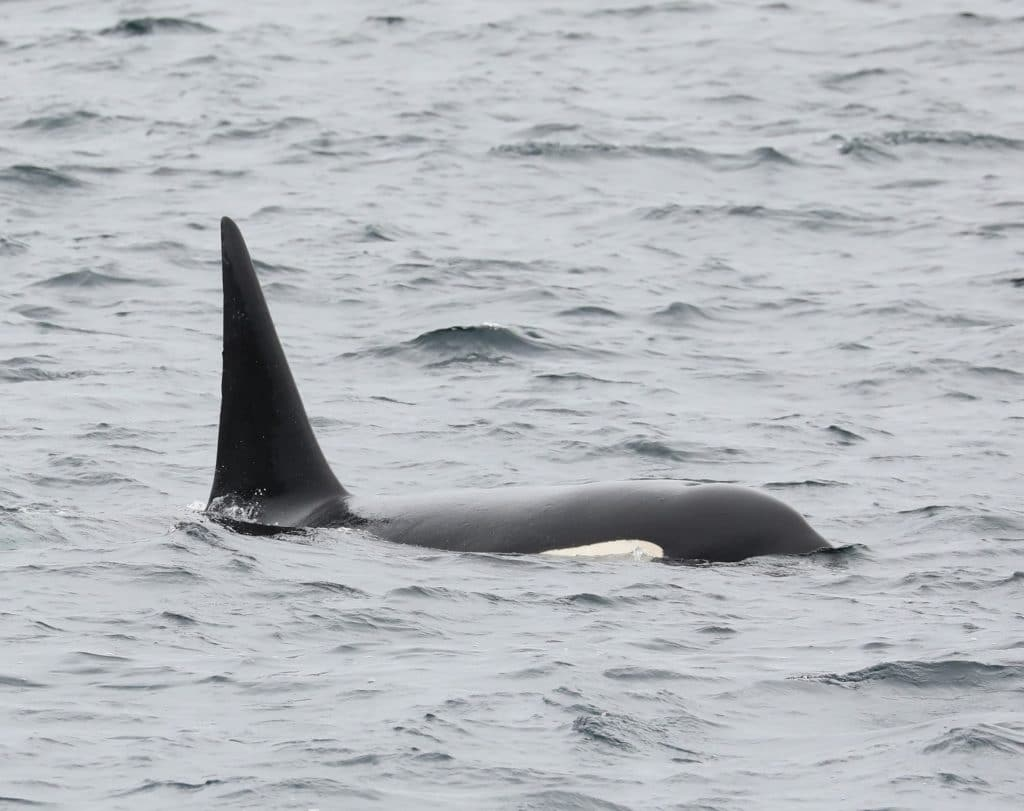 Looking out for orcas from the Scottish north coast – Orca Watch 2019