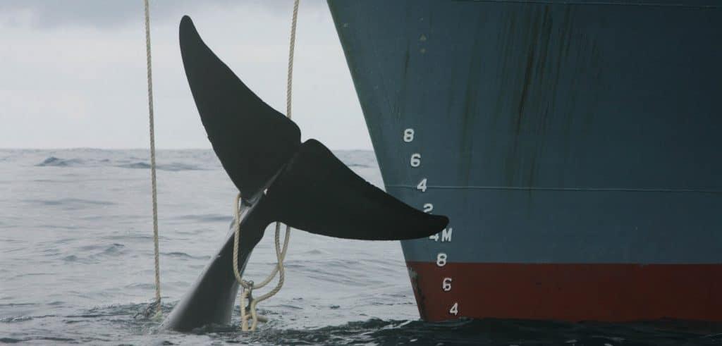 Antarctic minke whale alongside Japanese whaling ship.