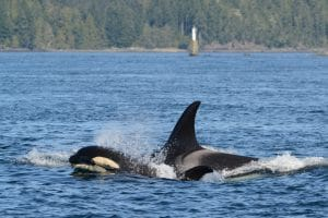 Orca - Holly with her family