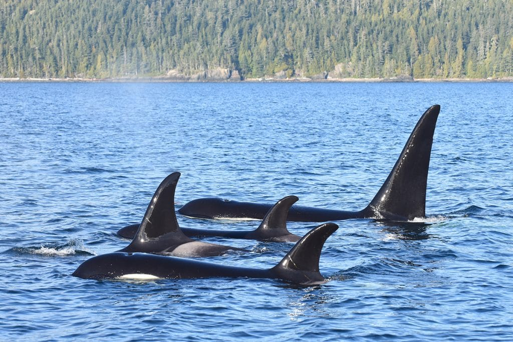 Orca - Holly swimming with her family