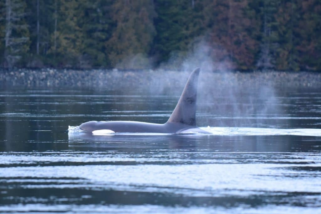 Orca - spray from Holly's blow