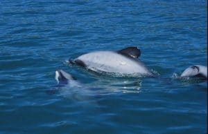 NZ government options for dolphins will be a CATastrophe