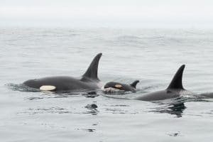 New baby offers hope for endangered orca community