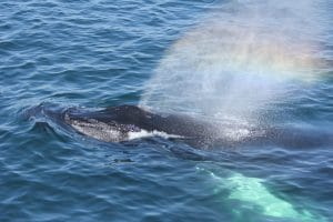 Humpback whale Reflection with rainbow in spray