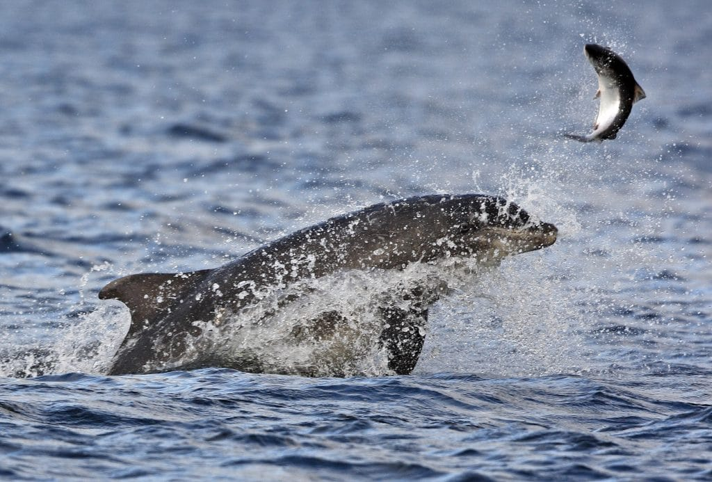 Bottlenose dolphin Rainbow chasing a salmon