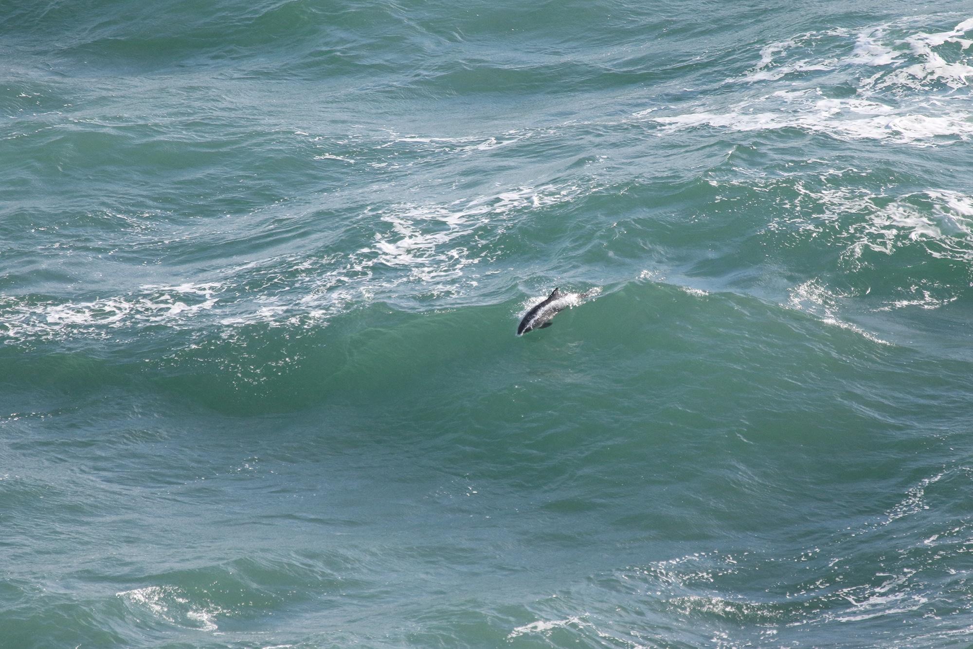 Surfing harbour porpoise