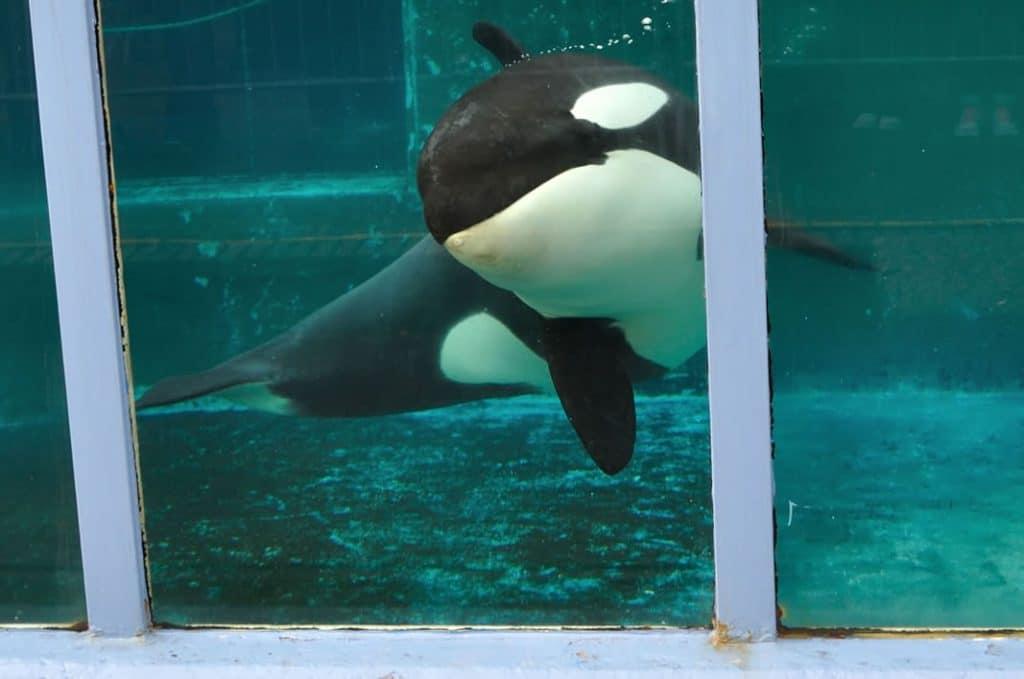 Morgan the orca