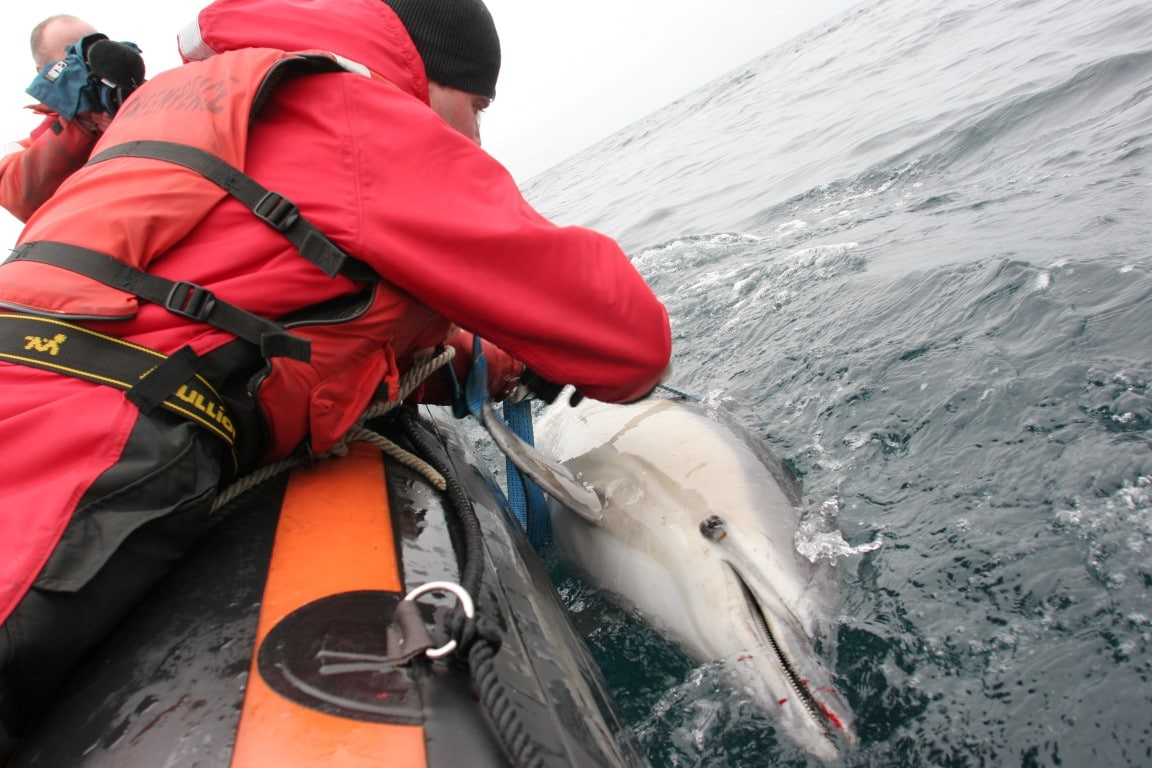 Bycaught dolphin being recovered from the water.