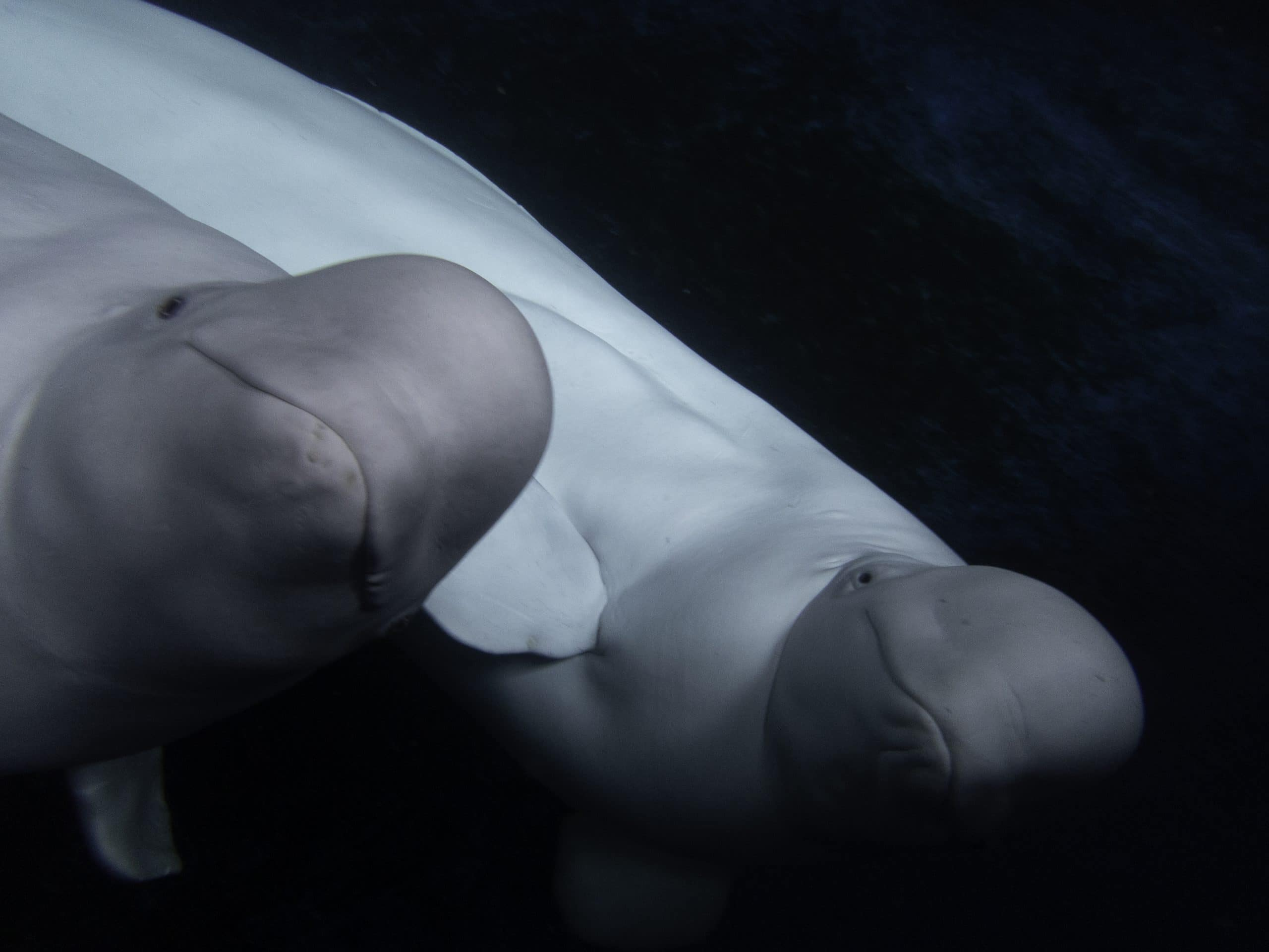 Beluga whales prepare for June release into the world's first open water sanctuary