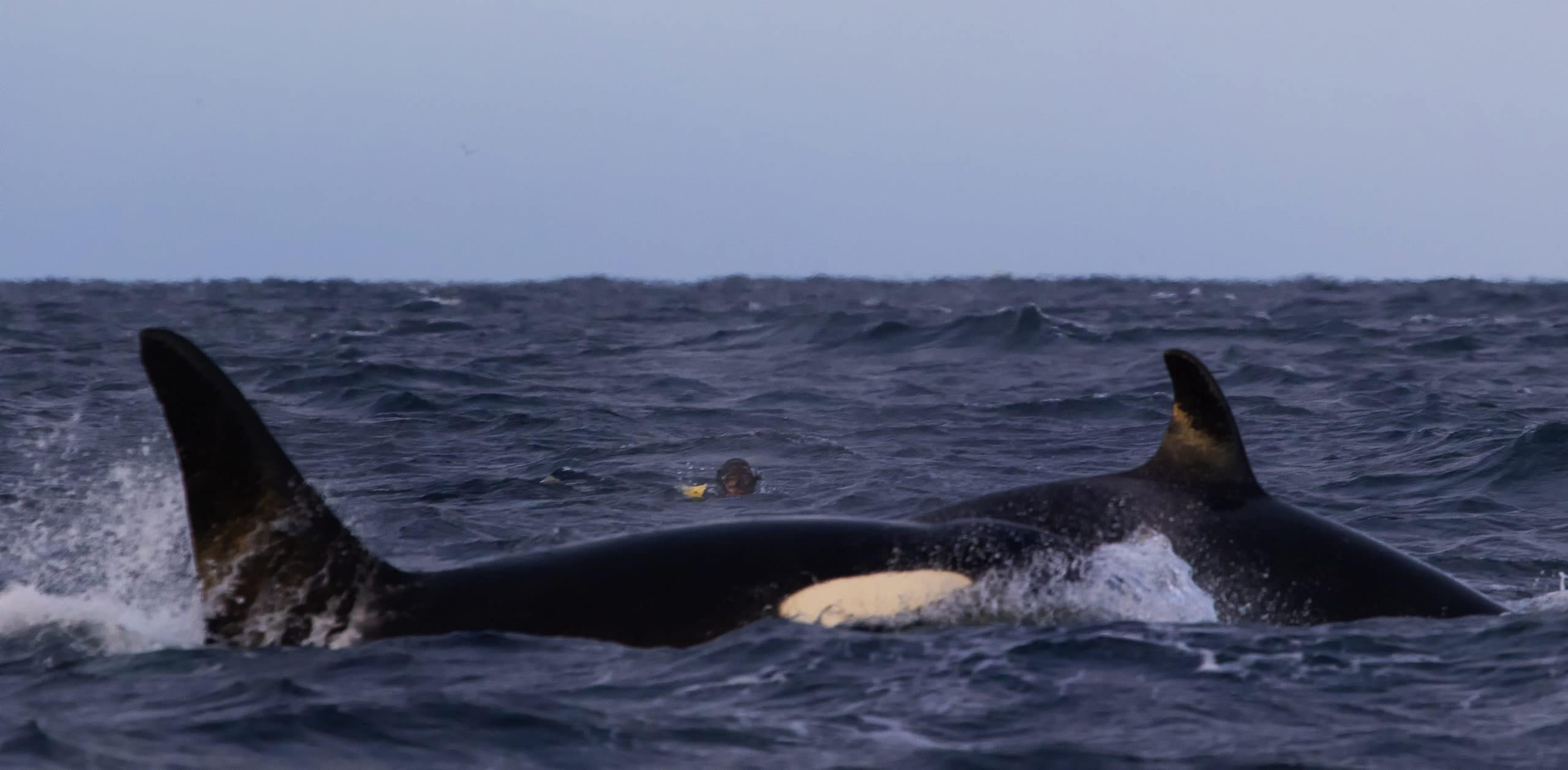 A snorkeller with a pair of orcas © Rob Lott.