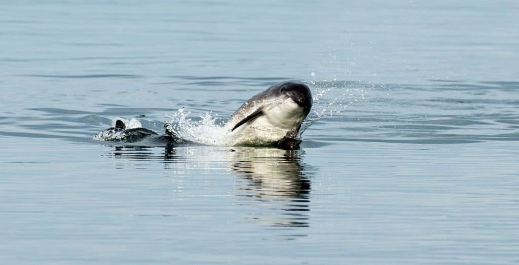 The pingers and the porpoise – preventing deaths in fishing nets in Cornwall
