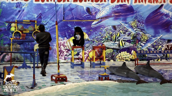 Dolphin circus in Indonesia