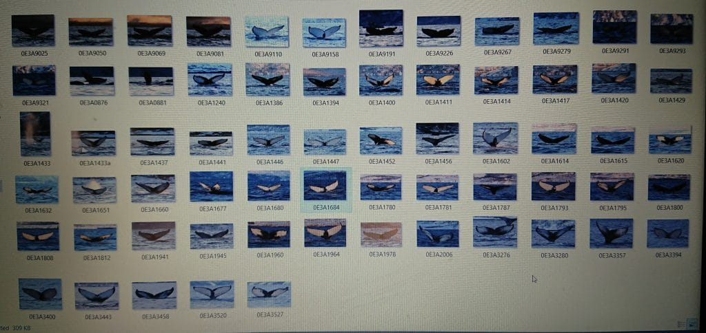 Screenshot of humpback flukes