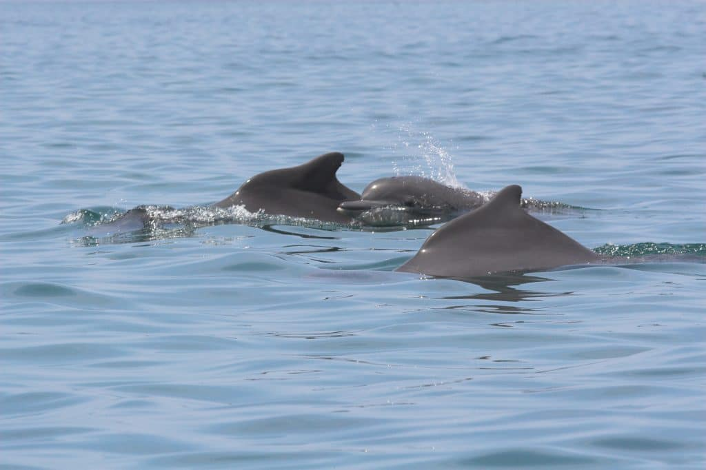 A group of Atlantic humpback dolphins