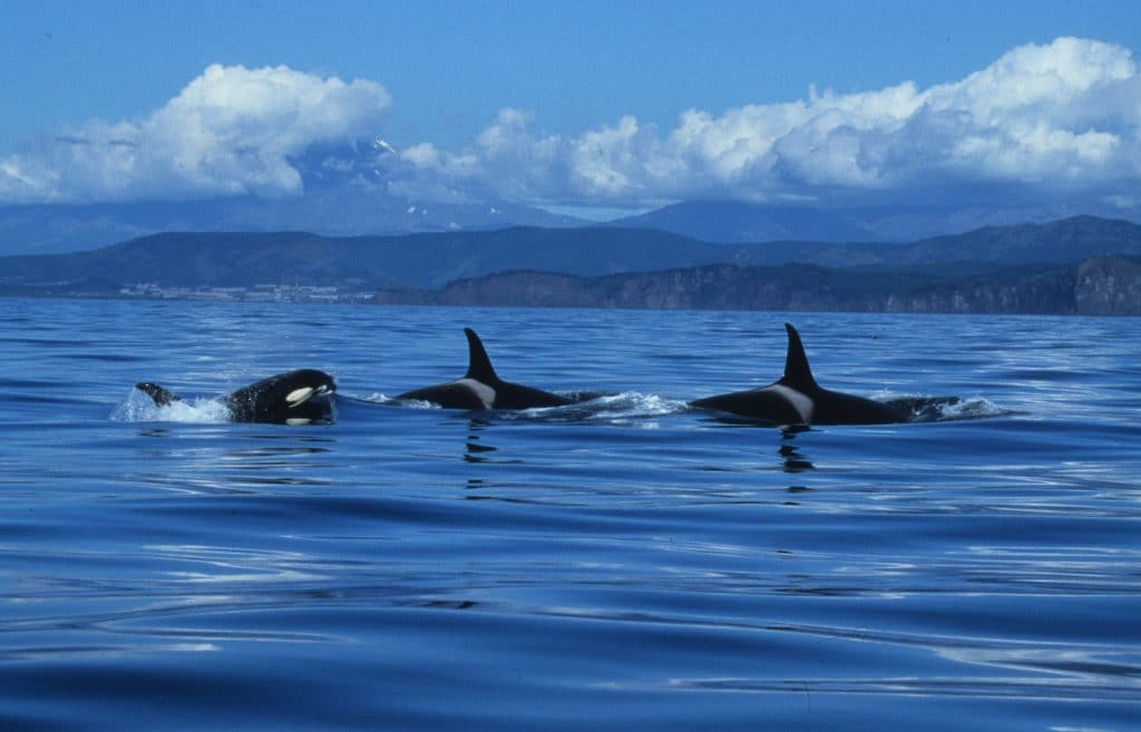 A group of fish-eating orcas in Russia's Far East