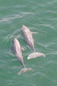 First finless porpoise drone footage from Hong Kong revealed