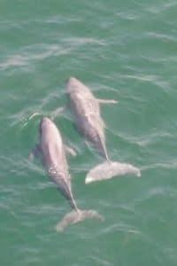Finless Porpoise Hong Kong