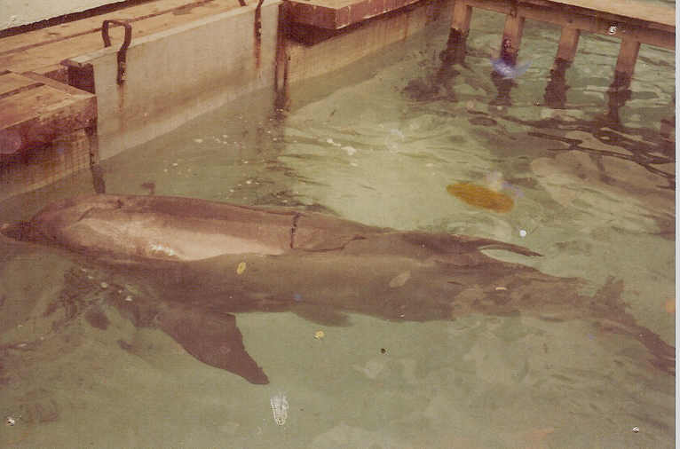 Smartie the dolphin at Windsor Safari Park © Marine Connection
