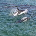 Peale's dolphins