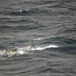 Type A orcas