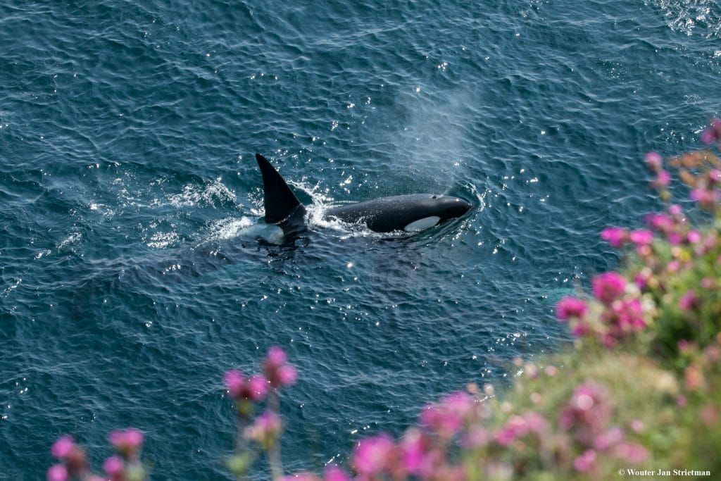 This orca, Melrakki, has travelled from Iceland to Scotland