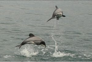 We've won protection for Māui and Hector's dolphins, but is it enough?