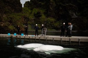 BELUGA WHALE SANCTUARY UPDATE:  Little Grey and Little White arrive safely after move to bay care area