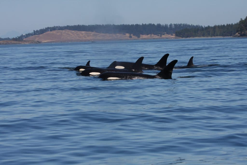 Tahlequah the orca is pregnant again