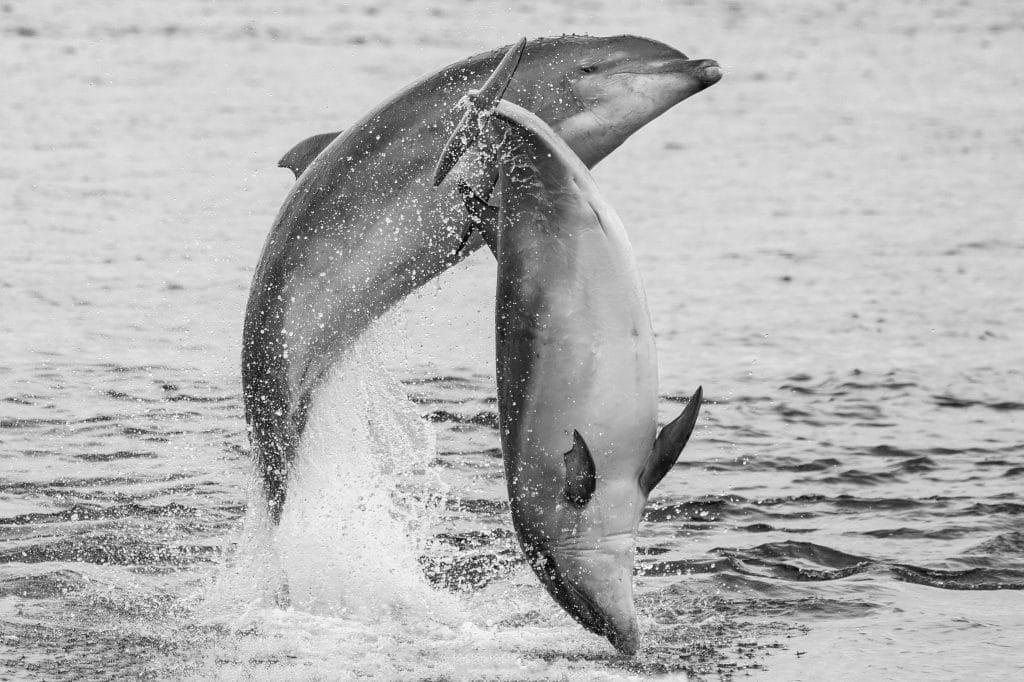 Bottlenose dolphin Charlie breaching