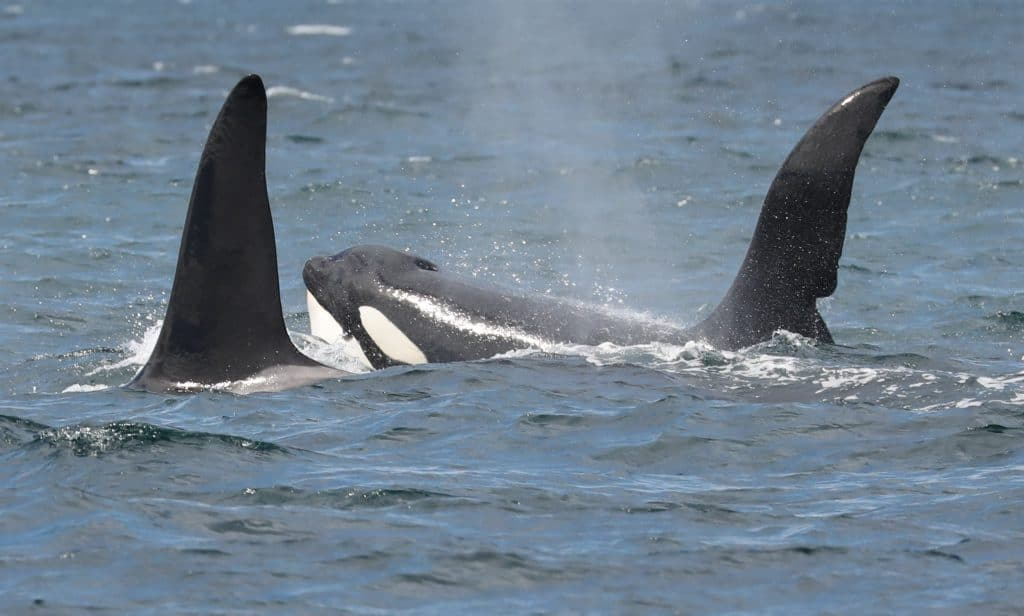 Tragic tale of the UK orcas facing extinction