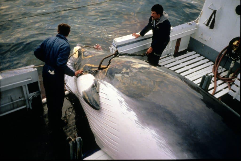 A minke whale is hauled aboard by hunters