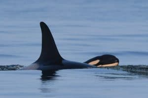 Tahlequah the orca has a new calf