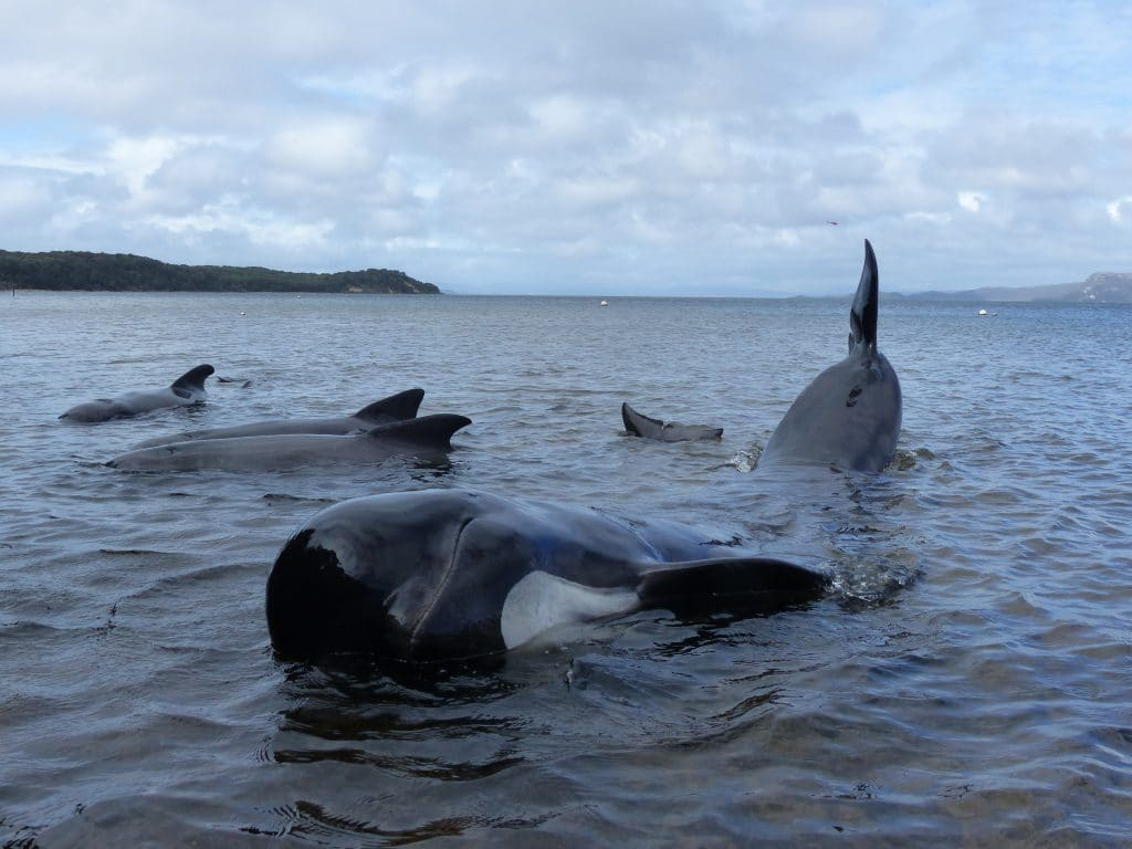What was it like to be in the rescue team at the Tasmania pilot whale stranding?
