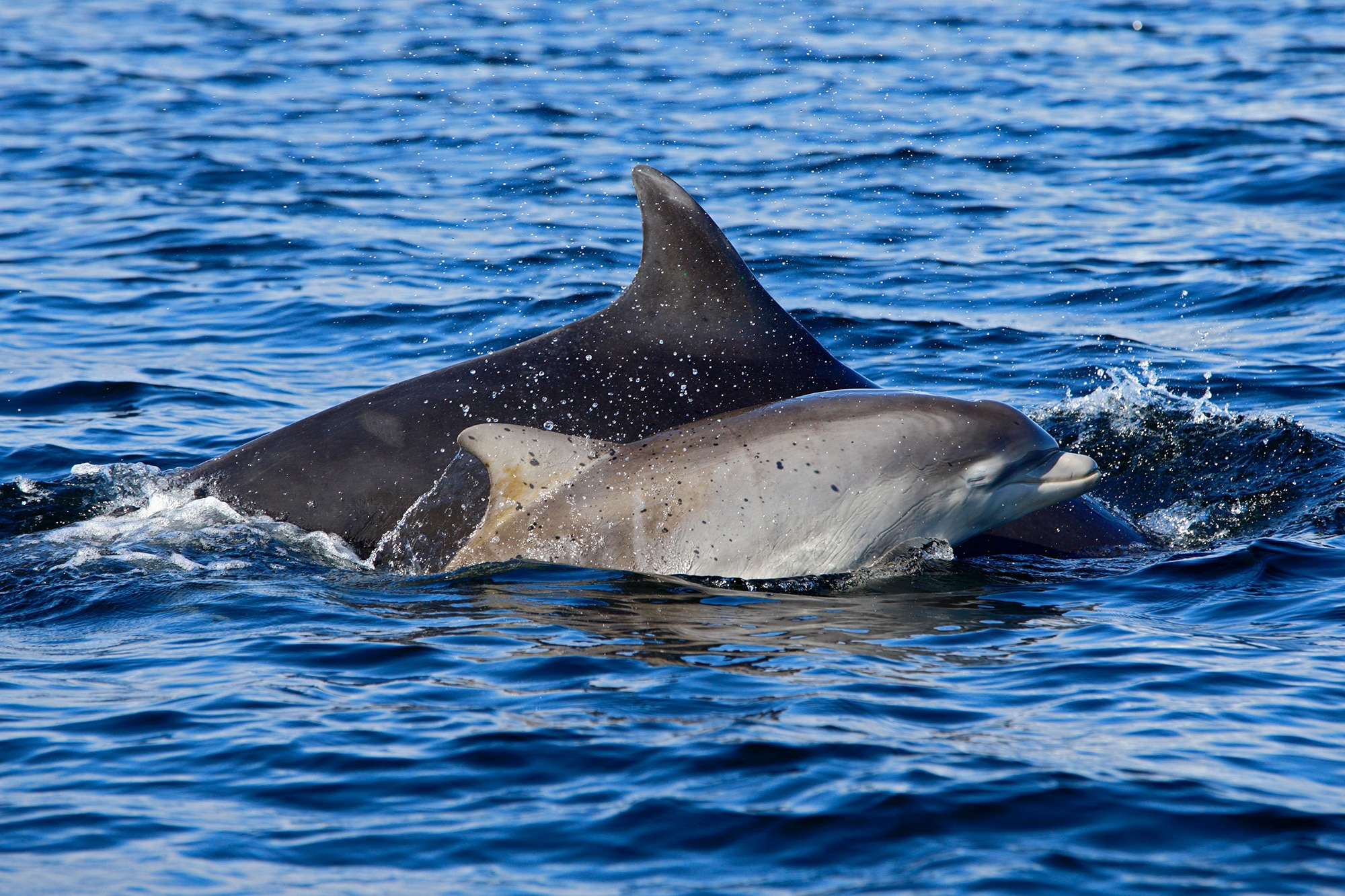 Bottlenose dolphin with calf
